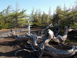 6s生きている樹木DSCN1951.jpg