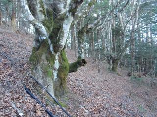 s844ブナ巨木.jpg